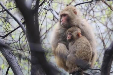 大山小精靈——太行獼猴