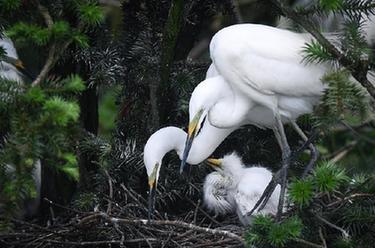 鄱陽湖畔白鷺進入孵化哺育旺季