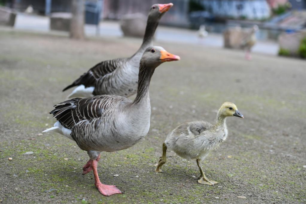美茵河畔的雁寶寶