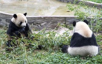 大熊貓:多吃少動 美美過冬