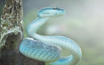 漂亮詭異 藍色響尾蛇現身叢林