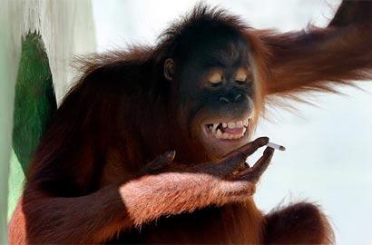猩猩戒烟大象戴隐形眼镜 盘点全球动物搞笑图片