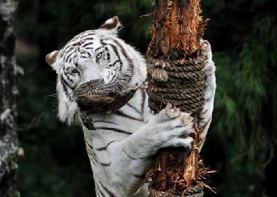 云南野生动物园野化训练白虎