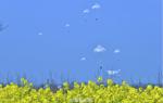 空降兵在鄂北空降訓練 傘花與油菜花爭艷