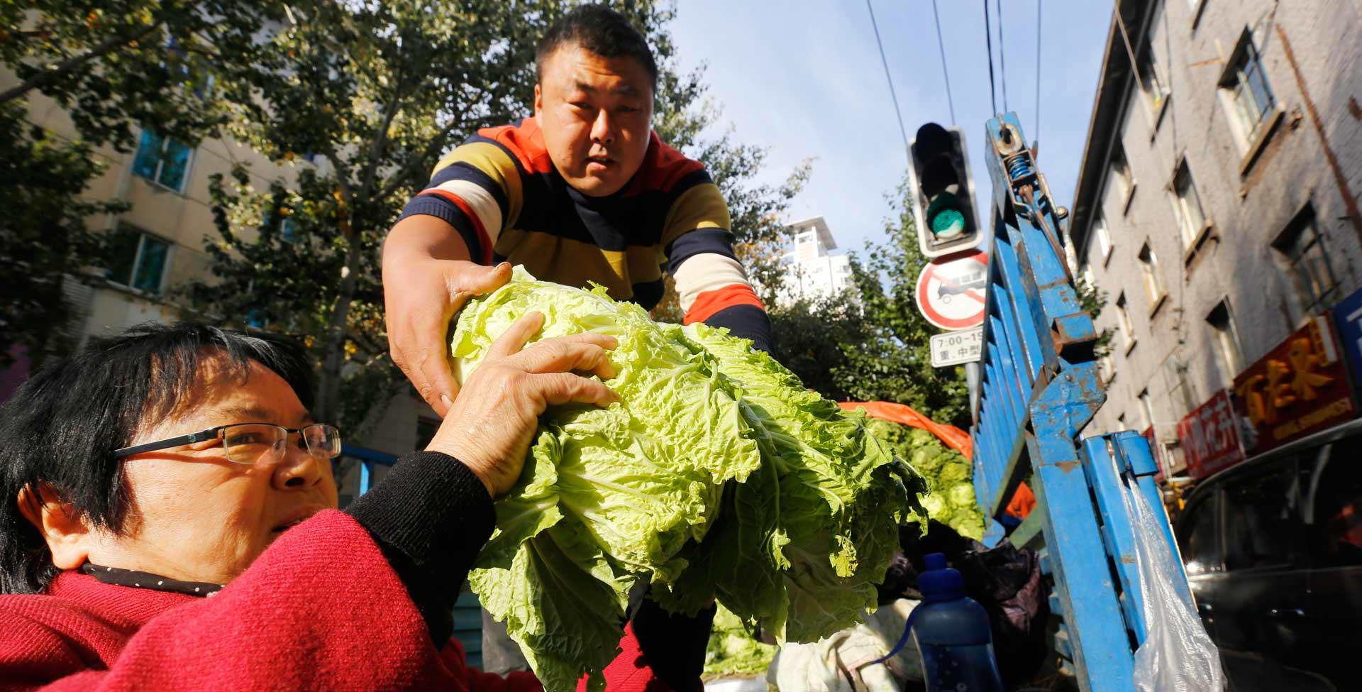 冬儲大白菜 點燃黑土地人們的熱情