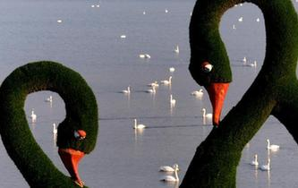 數千只白天鵝飛抵三門峽越冬