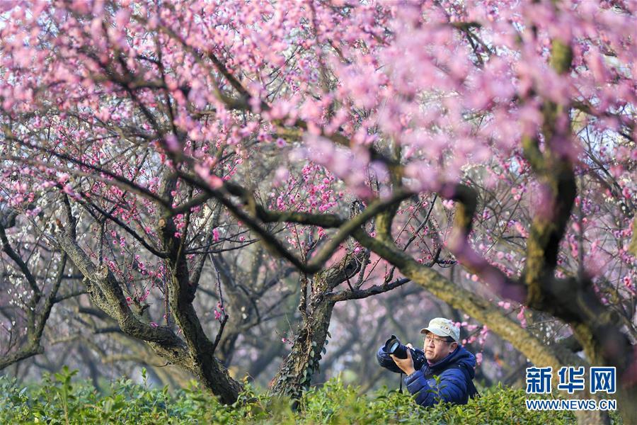 #(社會)(1)江蘇南京:梅花綻放引客來