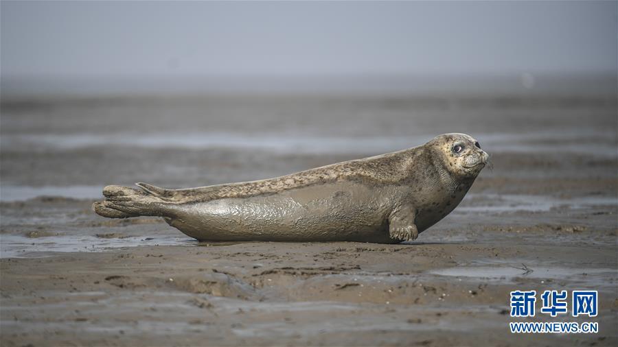 (環境)(1)盤錦:斑海豹洄遊棲息