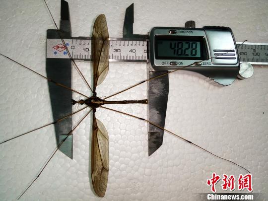 成都发现翅展达11.15厘米的巨型蚊子个体加减号怎么打