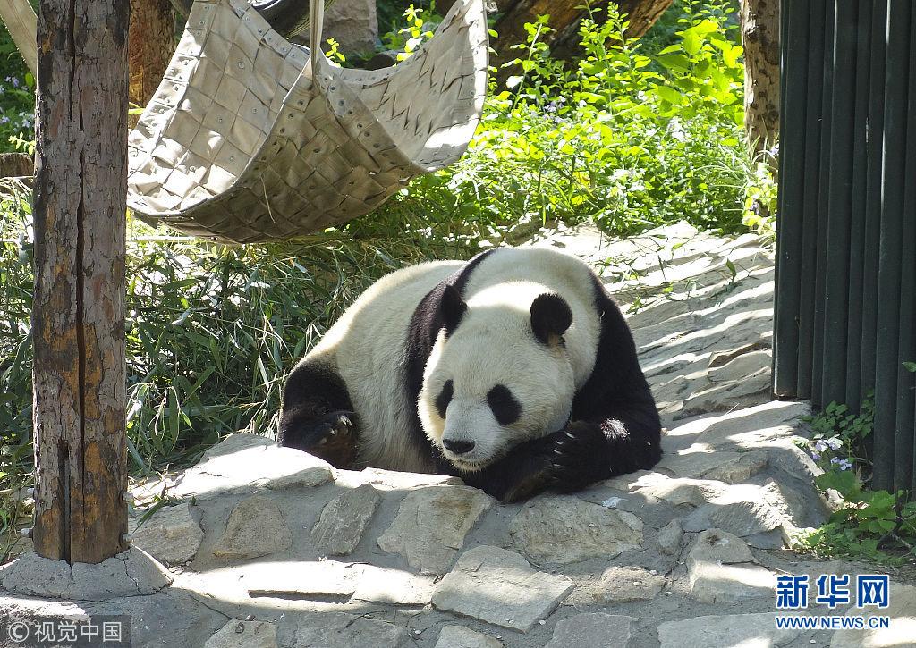 5月2日,在动物园内,熊猫晒着太阳,时不时伸个懒腰,翻个身,笨拙的