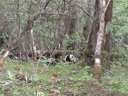 黄龙现野生大熊猫工作人员首次近距离实地拍摄
