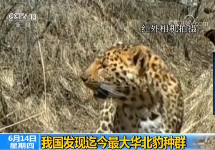 我国发现迄今最大华北豹种群 黄土高原脆弱生态开始恢复