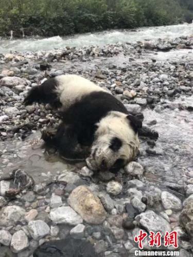"""大熊猫幼崽因山洪溺亡 胃中有奶让网友""""泪目"""""""