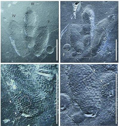 古生物学家在韩国发现世上最袖珍恐龙足迹化石