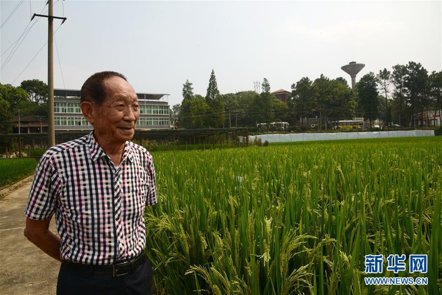 2016年8月17日,袁隆平在位于湖南长沙的实验田里观察超级杂交水稻。 新华社发