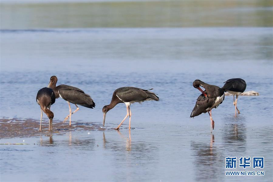 """(生態文明建設·圖文互動)(5)從亂河灘到""""鳥的天堂""""——一名攝影師鏡頭裏的""""生態變奏曲"""""""