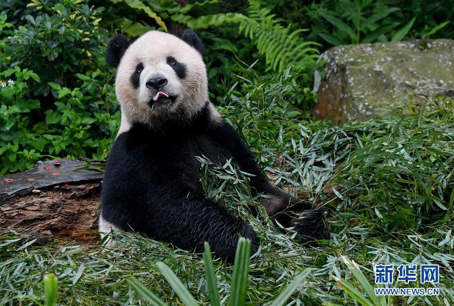 (社会)(3)赠台大熊猫十年迎客两千余万