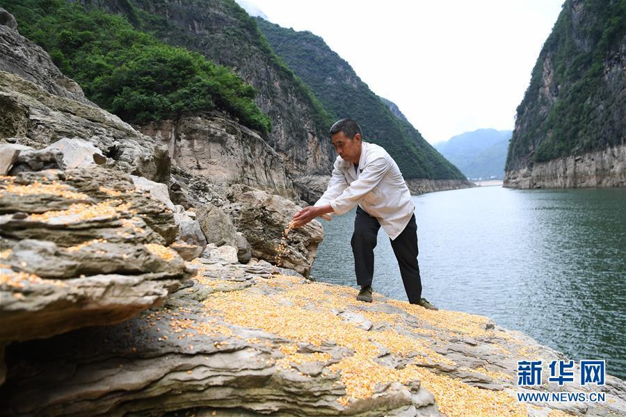 """(在习近平新时代中国特色社会主义思想指引下――新时代新作为新篇章)(3)重庆巫山:""""生态宝贝""""变身""""摇钱树"""""""