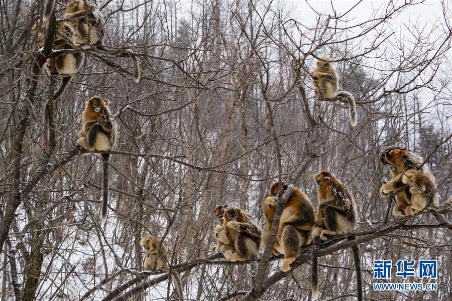 (壮丽70年·奋斗新时代·图文互动)(8)从开山伐木到全面保护——神农架国家公园的生态协奏曲
