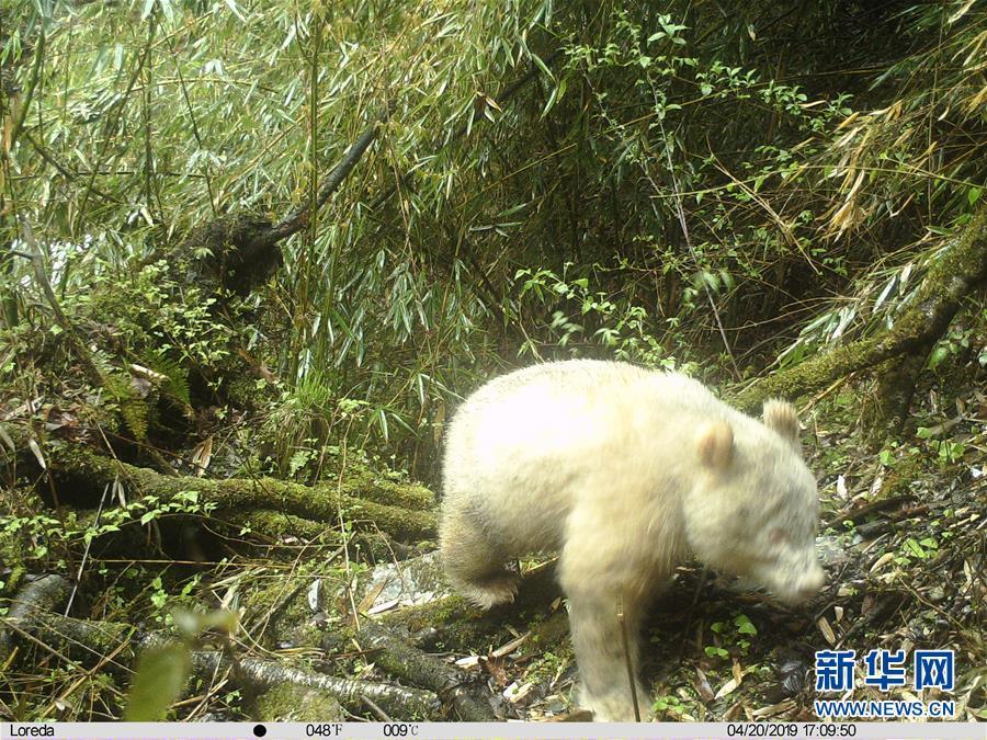 (图文互动)四川卧龙拍摄到首张白色大熊猫照片
