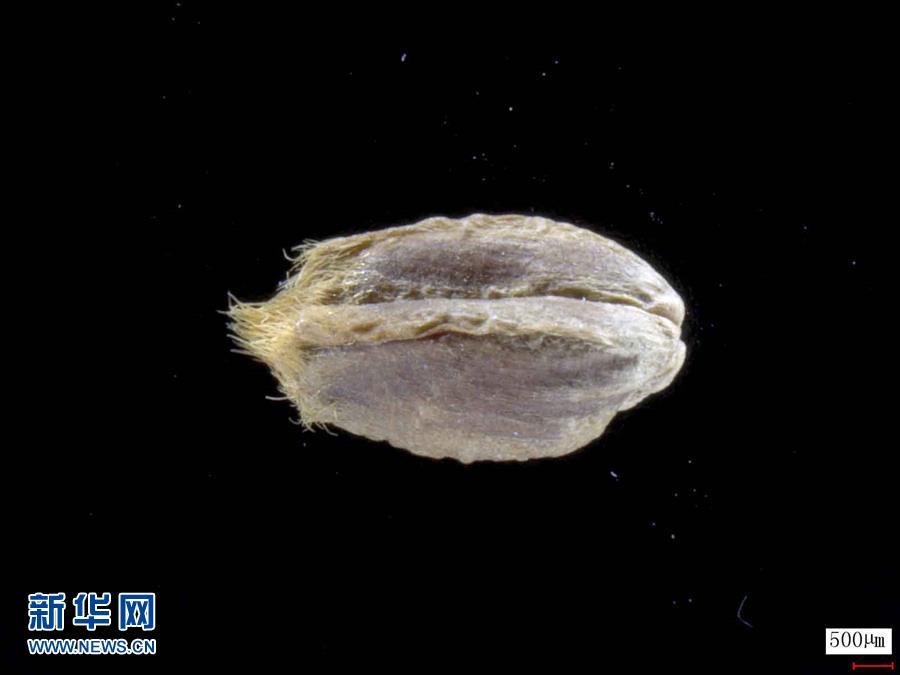 (图文互动)(2)中国科学家成功破译距今约3800年的古小麦全基因组