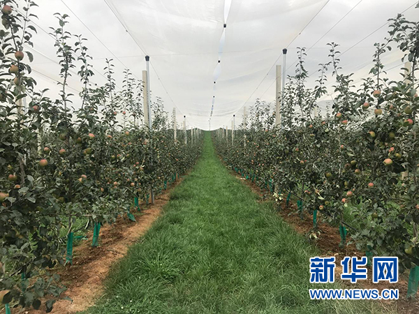 """特色种植产业——云南昭通脱贫攻坚的""""金钥匙"""""""