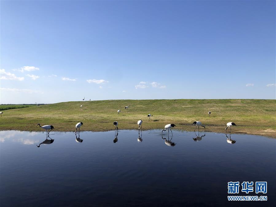 """(在习近平新时代中国特色社会主义思想指引下——新时代新作为新篇章·图文互动)(1)从""""人鸟争食"""" 到""""人鹤和谐""""——湿地生态保护的""""扎龙探索"""""""