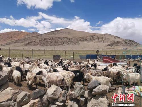圖為羊群正從羊圈裏出來。謝藝觀攝
