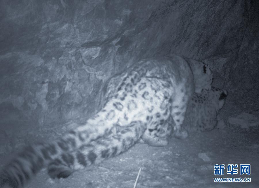 截至目前黄河源记录到雪豹触发红外相机次数194次