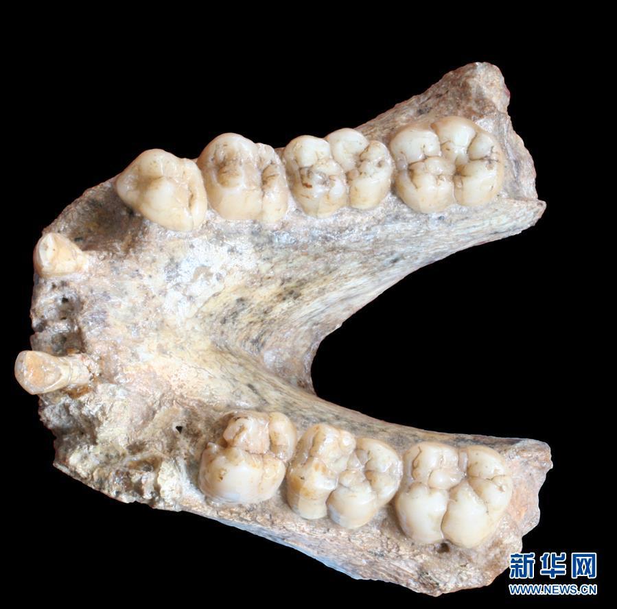 (图文互动)(2)科学家成功从190万年前巨猿化石中提取到遗传物质