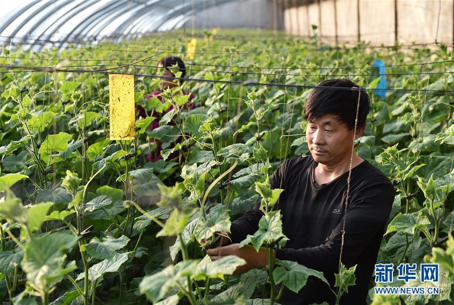 (社会)(1)河北平泉:温室大棚暖寒冬