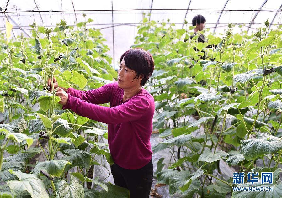 (社会)(3)河北平泉:温室大棚暖寒冬
