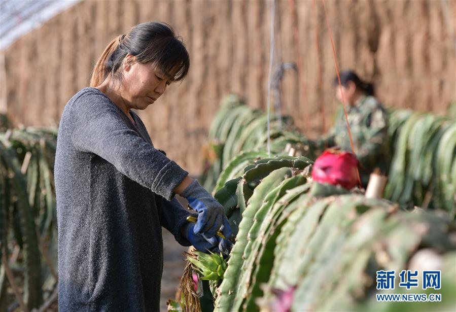 (社会)(4)河北平泉:温室大棚暖寒冬