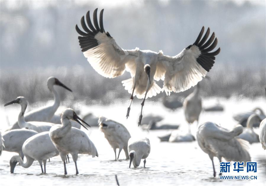 (新華全媒頭條·圖文互動)(1)鄱陽湖上白鶴飛——從白鶴遷徙路線之變看生態文明建設