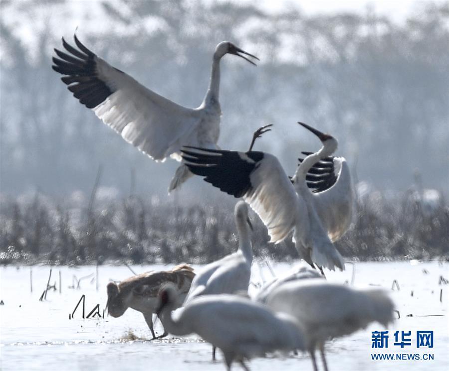 (新華全媒頭條·圖文互動)(2)鄱陽湖上白鶴飛——從白鶴遷徙路線之變看生態文明建設