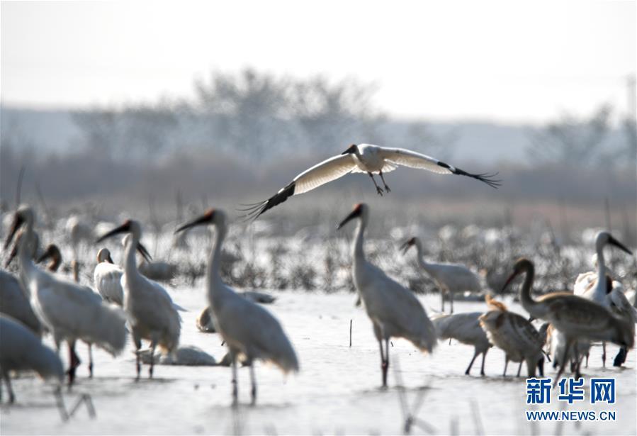 (新華全媒頭條·圖文互動)(3)鄱陽湖上白鶴飛——從白鶴遷徙路線之變看生態文明建設