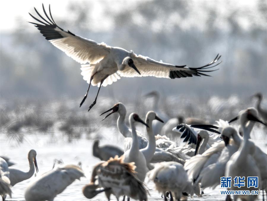 (新華全媒頭條·圖文互動)(4)鄱陽湖上白鶴飛——從白鶴遷徙路線之變看生態文明建設