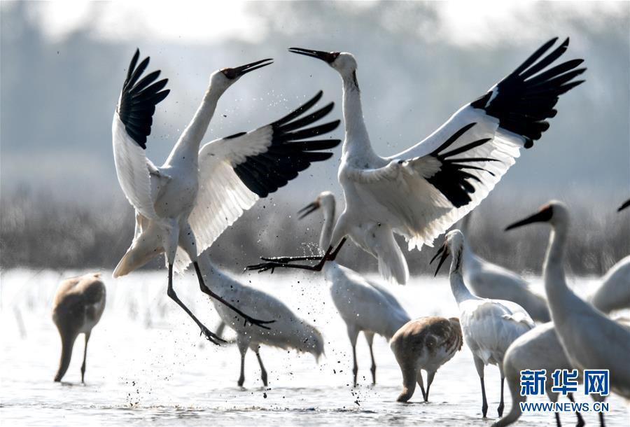 (新華全媒頭條·圖文互動)(5)鄱陽湖上白鶴飛——從白鶴遷徙路線之變看生態文明建設