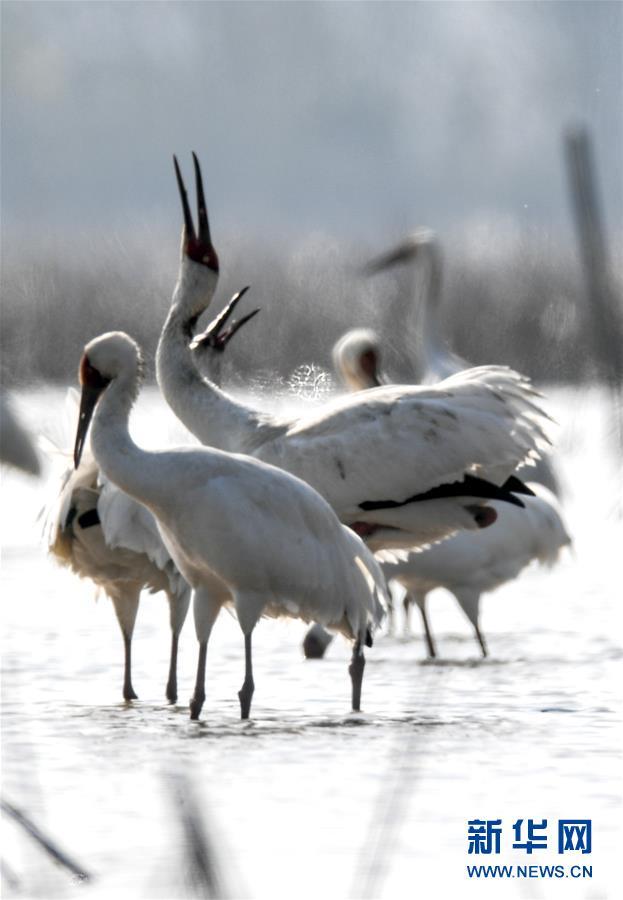 (新華全媒頭條·圖文互動)(6)鄱陽湖上白鶴飛——從白鶴遷徙路線之變看生態文明建設