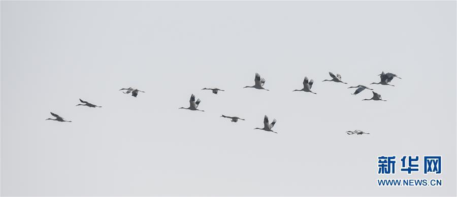 (新華全媒頭條·圖文互動)(7)鄱陽湖上白鶴飛——從白鶴遷徙路線之變看生態文明建設