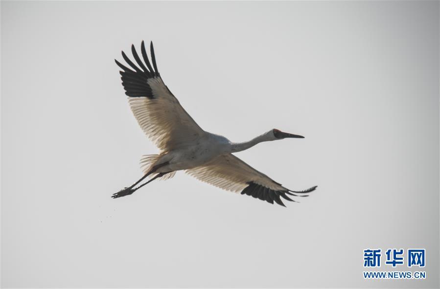 (新華全媒頭條·圖文互動)(8)鄱陽湖上白鶴飛——從白鶴遷徙路線之變看生態文明建設