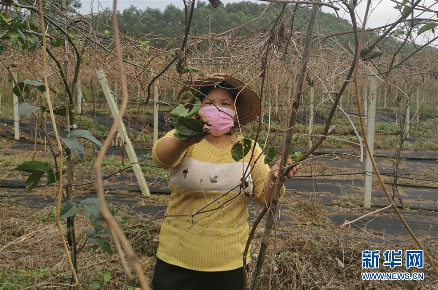 (圖文互動)(3)與疫情抗爭 與春光同行——廣西農村春耕備耕一線觀察