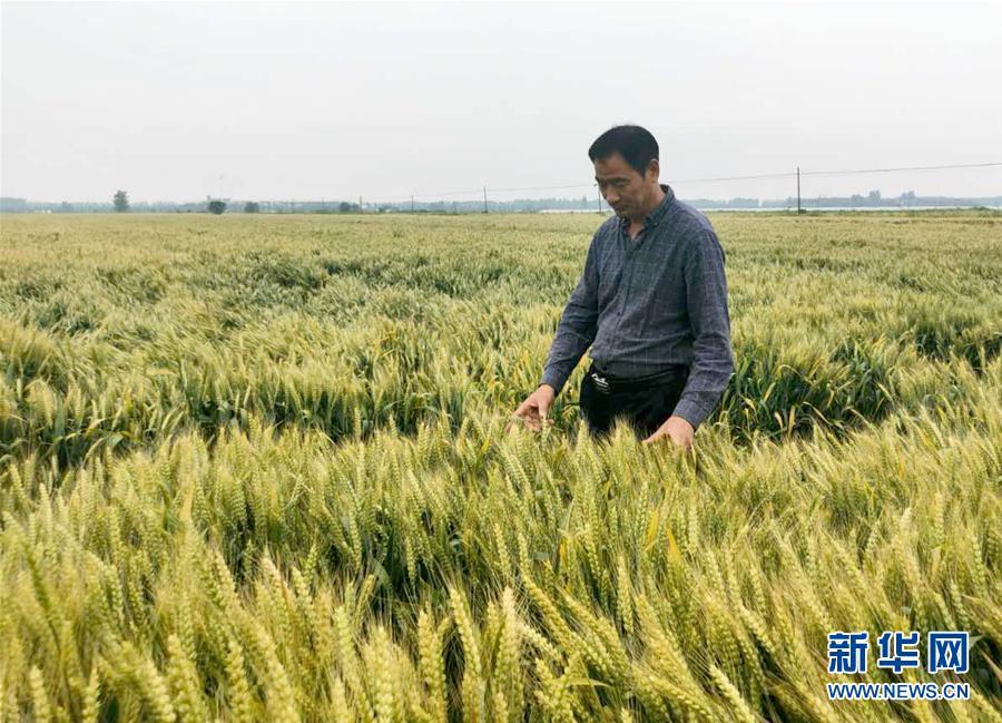 (在习近平新时代中国特色社会主义思想指引下——新时代新作为新篇章·习近平总书记关切事·图文互动)(1)新农事、新希望——夏收前田间新动态扫描