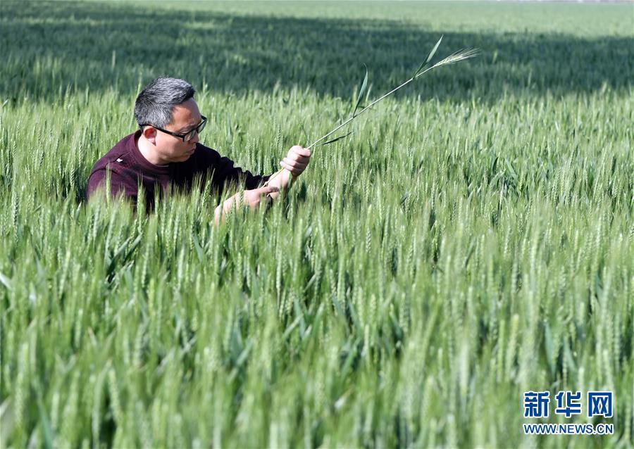 (在习近平新时代中国特色社会主义思想指引下——新时代新作为新篇章·习近平总书记关切事·图文互动)(5)新农事、新希望——夏收前田间新动态扫描