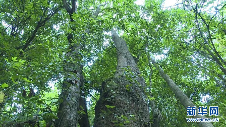(圖文互動)(1)雲南高黎貢山發現珍稀瀕危植物滇桐野生居群