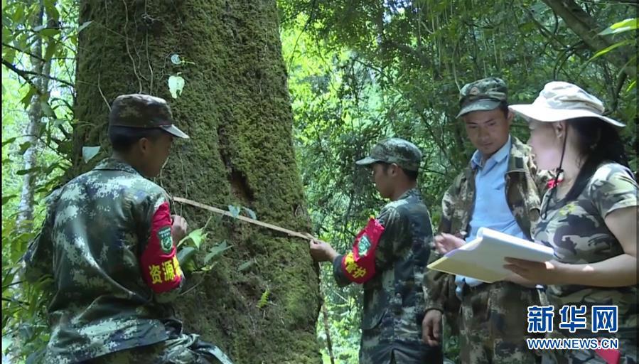 (圖文互動)(2)雲南高黎貢山發現珍稀瀕危植物滇桐野生居群