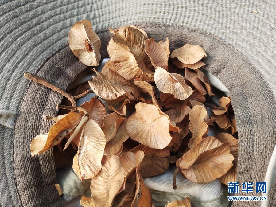 (圖文互動)(6)雲南高黎貢山發現珍稀瀕危植物滇桐野生居群