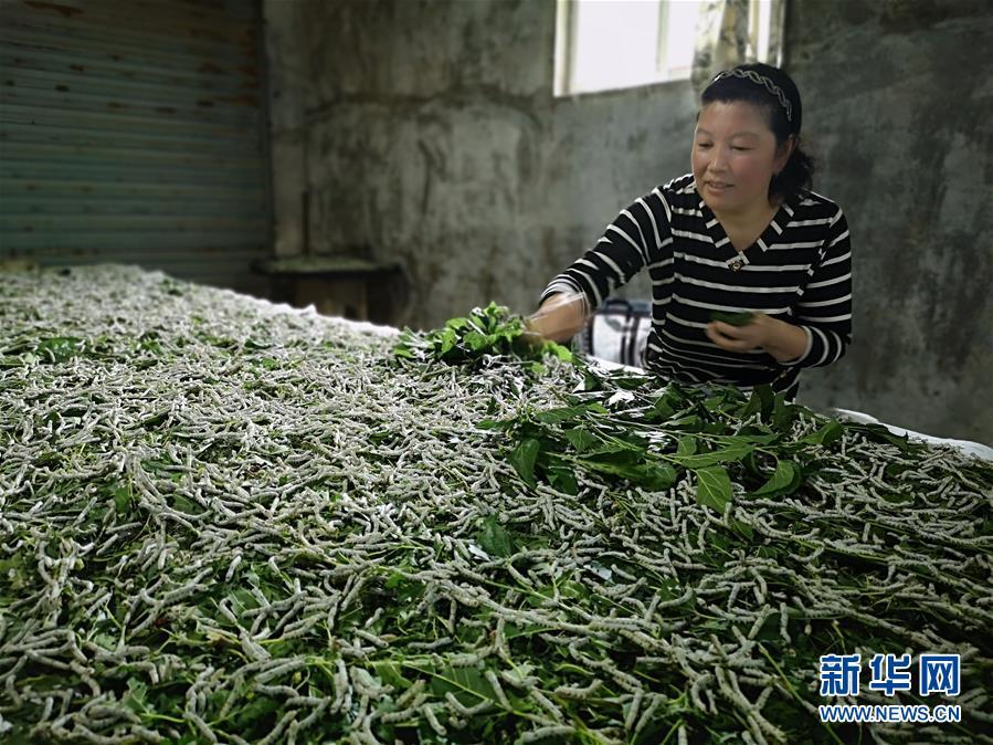 (決戰決勝脫貧攻堅·圖文互動)(1)桑蠶養殖助力太行山區農戶增收