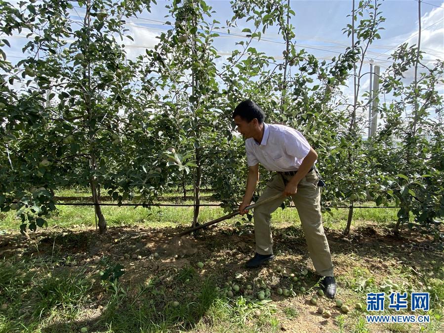 (決戰決勝脫貧攻堅·圖文互動)(1)高原紅了,日子好了——貴州海拔最高縣發展蘋果産業見聞
