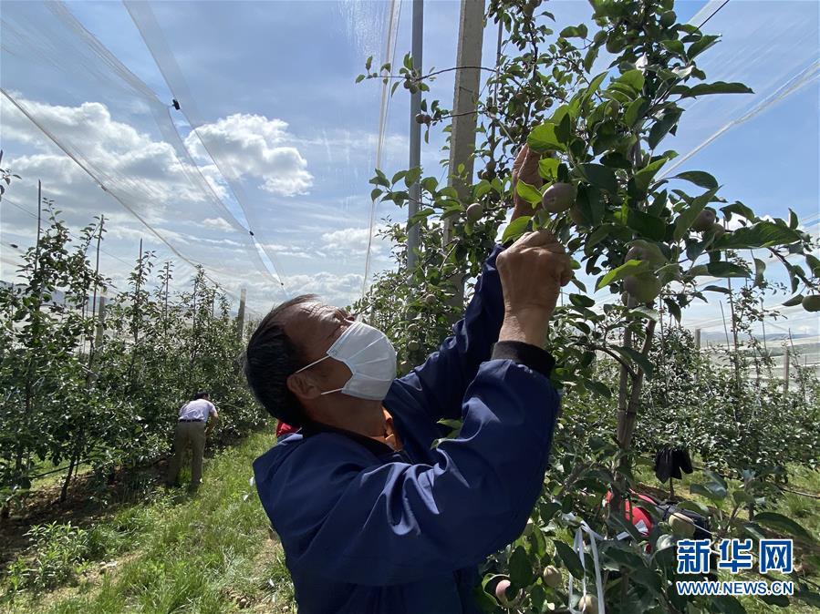 (決戰決勝脫貧攻堅·圖文互動)(2)高原紅了,日子好了——貴州海拔最高縣發展蘋果産業見聞